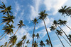 Coconut tree and sky background. (baddoguy) Tags: backgrounds beach beauty in nature blue cloud sky cloudscape coconut palm tree color image copy space day field forest green group of objects horizontal island leaf low angle view no people nonurban scene orchard outdoors pacific islands photography plantation rural secret summer sunlight sunny thailand tranquility trat province trunk tropical climate pattern wide wind