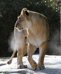 234A0007-Edit.jpg (Mark Dumont) Tags: african animals cat cincinnati dumont lion mammal mark zoo