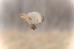 VSTOL Shorty (PIX SW) Tags: shortearedowl shorty owl seo bird