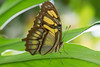 beauty (jeff's pixels) Tags: butterfly insect wing macro nikon d850 nature