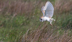 Barn Owl (Steve (Hooky) Waddingham) Tags: animal bird british barn coast countryside nature northumberland hunting prey photography mice morning voles wild wildlife