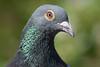 @ Pairi Daiza 17-05-2017 (Maxime de Boer) Tags: bird vogel pairi daiza zoo belgium belgië animals dieren dierentuin gods creation schepping creator schepper genesis pigeon duif