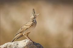 Haubenlerche (Crested lark) (tzim76) Tags: haubenlerche galerida cristata crested lark israel desert wüste gelb heis sun stein stone birding outdoor wildlife nature