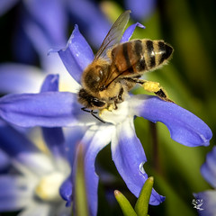 0235_  Bee in Chionodoxa - Emdrup - København - Danmark_ (I appreciate all the faves and visits many thanks) Tags: bibee danmark insects insekter københavn natur nature sneprydchionodoxa solveigøsterøschrøder explore 100views 1000views