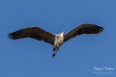 Great Blue Heron flyover