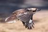 laughing kookaburra (Dacelo novaeguineae)-7416 (rawshorty) Tags: rawshorty birds canberra australia act symonston