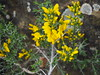 Genista scorpius (tgrauros) Tags: argelaga catalogne catalonia cataluña catalunya genistascorpius groc jaune torà yellow