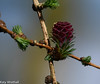 New cone (Katy Wrathall) Tags: 106365 2018 2018pad april eastriding eastyokrshire england spring garden larch