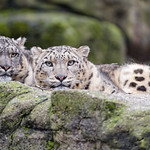 The two snow leopards looking at me... thumbnail