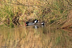 J78A2654 (M0JRA) Tags: birds flight flying wildlife rats walks gardens parks fields trees lakes ponds ducks swans rspb
