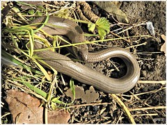 Slow worm #hwcp (pete Thanks for 3 Million Views) Tags: nikon p900 hwcp park wicked weasel slow worm