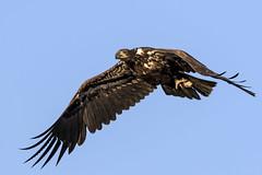 Juvenile Bald Eadle with fish head....6O3A8882CR2A (dklaughman) Tags: baldeagle eagle bird bombayhooknwr delaware