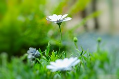 Piccolo fiore (RoLiXiA) Tags: sardegna sardinia sardaigne cerdeña flora fiori fiore giardino macro natura erba