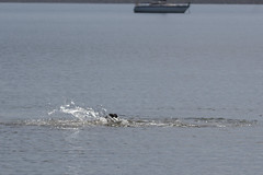 IMG_6304 (armadil) Tags: mavericks beach beaches californiabeaches kathie lowtide seal seals