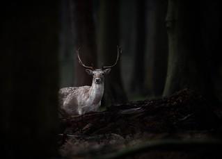'Forest Sage'