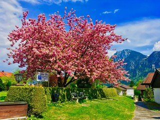 Tree in full bloom in Kiefersfelden, Bavaria, Germany