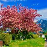 Tree in full bloom in Kiefersfelden, Bavaria, Germany thumbnail