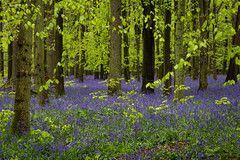 IMG_7808.jpg (ChodHound) Tags: ashridgeestate bluebells