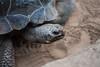 IMG_0484 (flickrcheckr) Tags: chelonoidisnigra galápagosriesenschildkröte schildkröte zoorostock