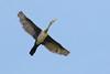 Double-crested Cormorant -- Juvenile (Phalacrocorax auritus); Tucson, Arizona, Christopher Columbus Park [Lou Feltz] (deserttoad) Tags: bird wildbird wildlife nature water cormorant arizona flight young behavior