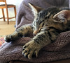 Ollie (rjmiller1807) Tags: cat kitty kitten fosterkitten foster fostering 2017 november tabby cute sleeping catnap iphonese iphonography iphone paws sleep nap snuggly sweet adoptdontshop adopted