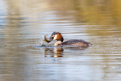 Great crested grebe (patrikantal) Tags: water bird catch waterbirds great crested grebe nature wildlife photography