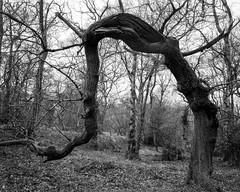 Stooping Tree (Hyons Wood) (Jonathan Carr) Tags: tree ancient woodland anthropomorphism rural northeast black white bw monochrome largeformat analog 4x5 5x4 bergger toyo landscape