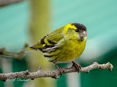 Hallo, bin auch mal wieder hier (Fotoamsel) Tags: erlenzeisig natur tiere tiereimgarten vögel durcheineglasscheibe