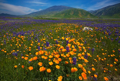 Not an april fools joke (DM Weber) Tags: flowers poppies lupine popcorn california landscape canon eos5dmk2 dmweber psa148