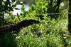 M00_6070.jpg (M. Jarrett) Tags: australia scottshead goanna southwestrocks