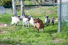 Leader of the pack (Miguel.Galvão) Tags: goats female green farm country life little goat leader pack galvão miguel pedro pires canon 5d full frame m42 mf 135mm évora portugal alentejo quinta campo verde vida do