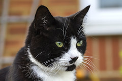 IMG_5960 (Roger Brown (General)) Tags: black white cat feline close up portrait garden pet tuxedo canon 7d sigma 18250mm roger brown