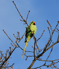 IMG_3653i (Jeff And) Tags: parakeet greenparakeet kentonrecreationground kenton greenhill harrow birds