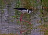 Black-necked Stilt (1krispy1) Tags: recurves stilts blackneckedstilt texasbirds