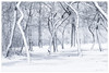 Twining Dance in Snow (Ping...) Tags: trees snow winter trunks dance michigan