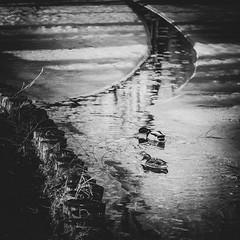 Путь к гнезду / Road to the Nest (Yuri Balanov) Tags: road nest ducks duck river floes ice iceriver spring water thaw snowbreak park bridge contrast monochrome blackandwhite bwphoto bw black white shadows lights nature russia pentaxricoh pentax pentaxrussia pentaxk5iis animal