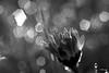 Ombre et lumière- ça pétille au réveil!HBMT (FLOCVROFF) Tags: april spring printemps bokeh ombre light dunkel lumiere daisy tulip flowers chivaroff 50mm macro monochromebokehthursday