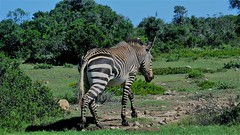 De Hoop Nature Reserve, a South African zebra (Sokleine) Tags: dehoop reserve nature park animals animal westerncape afriquedusud southafrica africa afrique zèbre zebra stripes rayures