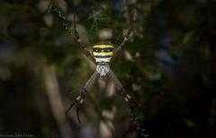 Argiope keyserlingi (dustaway) Tags: coomeravalley clagirabaforestreserve sequeensland queensland australia nature arthropoda arachnida araneae araneomorphae araneidae argiopinae argiopekeyserlingi australianspiders