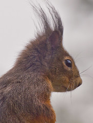 Niedlich / Cute (schreibtnix on 'n off) Tags: deutschland germany bergischgladbach tiere animals eichhörnchen squirrel sciurusvulgaris nahaufnahme closeup niedlich cute olympuse5 schreibtnix