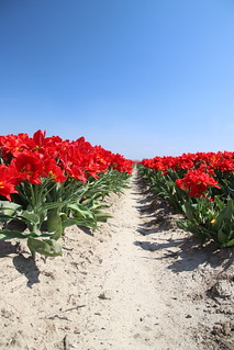 Red tulips in a row on a flower field in Oude-Tonge in the Netherlands