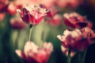 Festa dei Tulipani (Fringed Tulip)