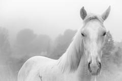 brume (joboss83) Tags: cheval nb nature horse blanc white animal prairie animaux noire et fuji xt1 xt2