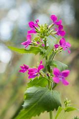 Honesty Windswept (Sara@Shotley) Tags: honesty macro flower plant wood wildflower pink colourful spring bokeh leaves leaf green nature