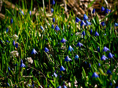 Wood Squill and White Clover (Scilla sibrica, Trifolium repens), Southern Finland (valentin hintikka) Tags: scilla scillasibrica whiteclover trifoliumrepens spring nikkorhauto300mmf45preai olympus epm1 flowers nature sunny macro wideopen m43 microfourthirds manuallens ambientlight 600mmequivalentfov finland woodsquill clover