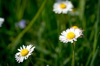 Common daisy / Gänseblümchen (Bellis perennis)