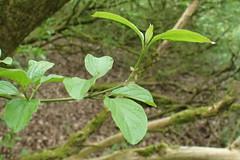 Common Dogwood leaves (Baractus) Tags: john oates common dogwood earlswood moathouse nature reserve warwickshire uk wildlife trust