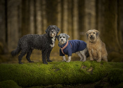 Furry family (Dogstar_photography) Tags: bellever forest devon rescue dogs canon eos 5d mark iv ef135mm f2l usm dogstar photography