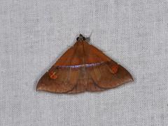 Sympis rufibasis (dhobern) Tags: 2018 china erebidae erebinae lepidoptera march sympisrufibasis xtbg xishuangbanna yunnan