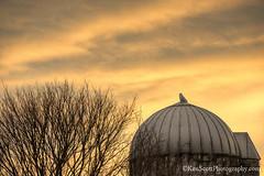 Snowy Owl ... silo sitter (Ken Scott) Tags: hdr leelanau michigan usa 2018 march spring 45thparallel kenscott kenscottphotography kenscottphotographycom snowyowl sunset barn silo